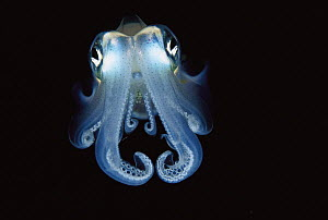 Squid (Sepioteuthis sp) portrait, front view, Papua New Guinea  -  Chris Newbert