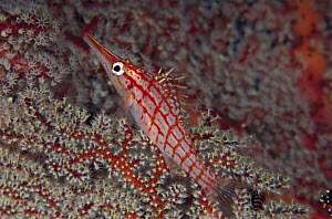 Longnose Hawkfish (Oxycirrhites typus) on Sea Fan (Siphonogorgia sp) 60 feet deep, Papua New Guinea  -  Chris Newbert