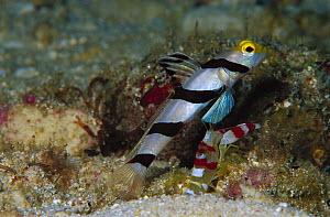 Black-rayed Shrimpgoby (Stonogobiops nematodes) with Shrimp guarding burrow, 80 feet deep, Papua New Guinea  -  Chris Newbert