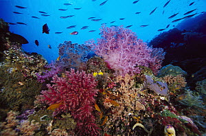 Reef scenic, 80 feet deep, Solomon Islands - Chris Newbert