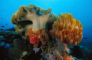 Leather Coral (Sarcophyton sp) and Yellow Crinoid (Oxycomznthus sp) 40 feet deep, Papua New Guinea  -  Chris Newbert
