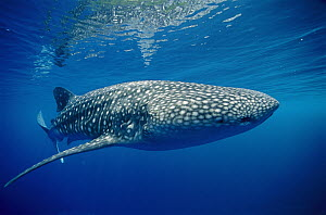 Whale Shark (Rhincodon typus), Papua New Guinea - Chris Newbert