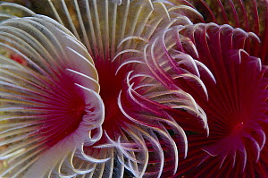 Feather Duster Worm (Sabellidae) details of branchiae, Indonesia  -  Birgitte Wilms