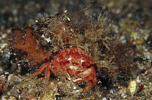 Hairy Sponge Crab (Dromidia antillensis) 60 feet deep, Indonesia  -  Birgitte Wilms