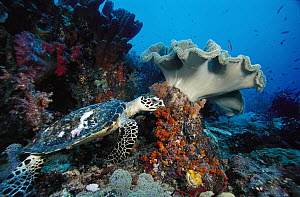 Hawksbill Sea Turtle (Eretmochelys imbricata) and Leather Coral (Sarcophyton sp) on reef, Indonesia - Chris Newbert