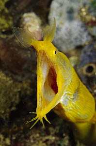 Ribbon Eel (Rhinomuraena quaesita) female gaping in defensive behavior, Indonesia  -  Chris Newbert