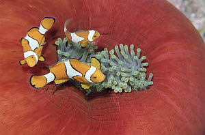 Blackfinned Clownfish (Amphiprion percula) trio gain protection among stinging tentacles of Anemone, Papua New Guinea  -  Norbert Wu