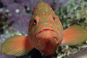 Coral Grouper (Cephalopholis miniata) changes color to match surroundings and mood, Red Sea, Egypt - Norbert Wu