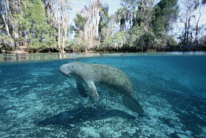 West Indian Manatee (Trichechus manatus), Crystal River, Florida  -  Norbert Wu
