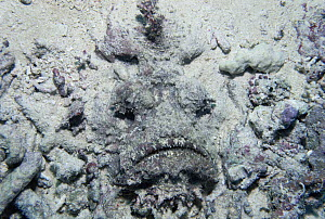 Reef Stonefish (Synanceia verrucosa) camouflaged like a rock as it lays in sand, most venomous fish in the world, Solomon Islands - Norbert Wu