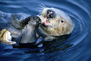 Sea Otter (Enhydra lutris) creates healthier Kelp forest by eating Abalone, California  -  Norbert Wu