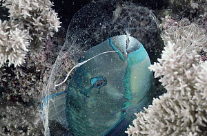 Parrotfish (Scarus sp) sleeps in protective mucous cocoon at night, Great Barrier Reef, Australia - Norbert Wu