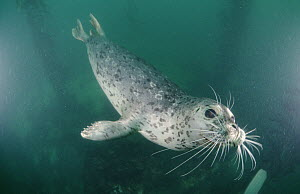 Harbor Seal (Phoca vitulina) swimming underwater, Monterey, California  -  Norbert Wu