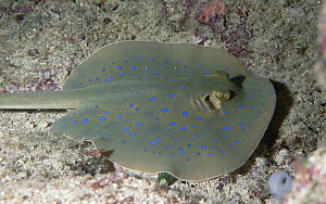 Blue-spotted Stingray (Dasyatis kuhlii) stings with barb on tail, Fiji  -  Norbert Wu