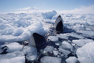 Orca (Orcinus orca) pod surfacing in icebreaker channel, must find open pockets of water to breathe, McMurdo Sound, Antarctica - Norbert Wu