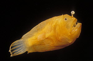 Netdevil (Borophryne apogon) deep sea species showing fishing pole with bioluminescent lure to attract deep sea prey, dwarf male is parasitic on larger females, Gulf of California, Mexico  -  Norbert Wu