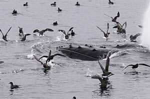 Humpback Whale (Megaptera novaeangliae) surfacing, surrounded by gulls scavenging fish, vulnerable, southeast Alaska  -  Flip  Nicklin