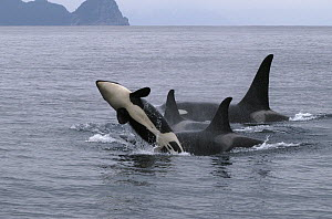 Orca (Orcinus orca) adult and breaching calf, southeast Alaska - Flip  Nicklin