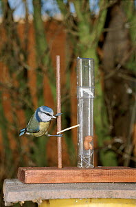 Blue tit moves matchstick to get peanut - Mike Beynon