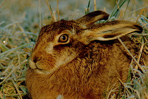 European / Brown hare resting (Lepus europaeus) Scotland  -  Brian Lightfoot