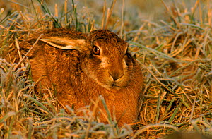 European / Brown hare resting, Scotland  -  Brian Lightfoot