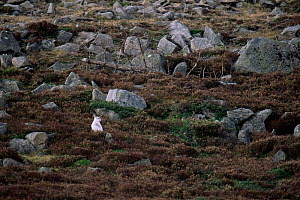 Mountain hare {Lepus timidus} in winter coat on mountainside, Scotland - Brian Lightfoot