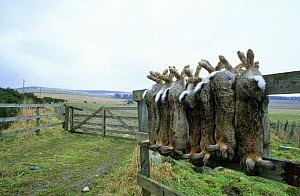 Rabbits hanging on fence, shot by gamekeeper (Oryctolagus cuniculus) Scotland  -  Brian Lightfoot