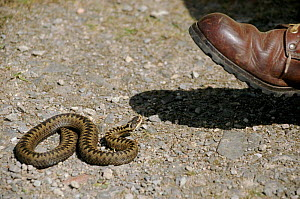 Adder about to be trodden on, Scotland, UK  -  Brian Lightfoot