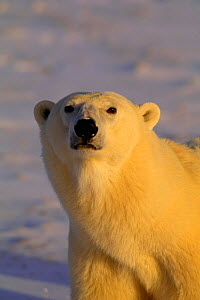 Polar bear head portrait (Ursus maritimus) Hudson Bay, Canada  -  TOM MANGELSEN