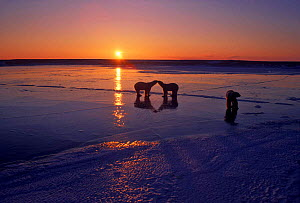Polar bears (Ursus maritimus) on ice at sunset. Hudson Bay, Canada.  -  TOM MANGELSEN