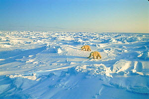 Polar bears, Canadian Arctic  -  TOM MANGELSEN