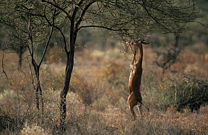 Gerenuk (Litocranius walleri) feeding up on hind legs, Samburu NP, Kenya, East Africa  -  Bernard Castelein