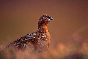Red grouse (Lagopus lagopus scoticus) Glen Esk, Scotland.  -  Brian Lightfoot
