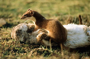 Stoat with rabbit prey, Scotland. - Brian Lightfoot