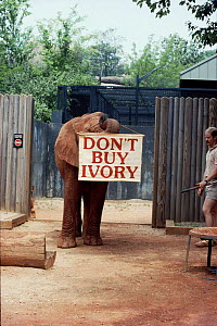Elephant in Atlanta Zoo, USA with Don't Buy Ivory banner  -  IAN REDMOND