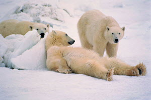 Polar bears relaxing, Hudson Bay Canada  -  TOM MANGELSEN