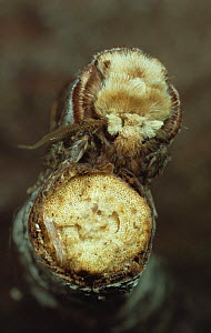 Buff-Tip moth (Phalera bucephala) camouflaged on broken twig. Scotland, UK - Duncan Mcewan