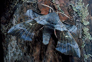Poplar hawkmoth resting on oak tree trunk, UK  -  Duncan Mcewan