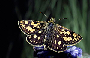 Chequered skipper butterfly. Scotland - Duncan Mcewan