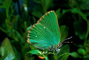 Green Hairstreak Butterfly, summer, Scotland. - Duncan Mcewan