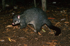 Common brushtail possum {Trichosurus vulpecula} foraging, Australia. - Tim Edwards