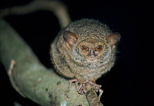 Diana tarsier (Tarsius dentatus / dianae). A recently discovered species in 1988, endemic to Sulawesi, vulnerable - Bernard Walton