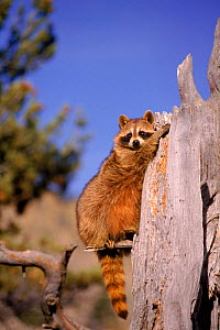 Raccoon on dead tree stump, USA  -  David Welling