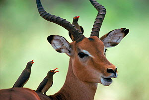 Impala with Oxpeckers. Kruger National Park, South Africa  -  Tony Heald