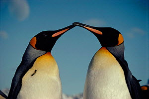 King penguins - Face to face. Life in the freezer.  -  Martha Holmes