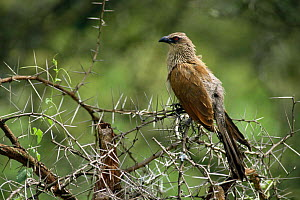 White-browed coucal {Centropus superciliosus} Lake Nakuru, Kenya - Bernard Castelein