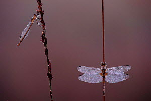 Yellow winged darter dragonfly resting on reed stem (right). Note damselfy to left with wings characteristically folded over body  -  Bernard Castelein