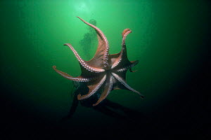 Giant Pacific octopus (Octopus dofleini) British Columbia Model released.  -  Jeff Rotman