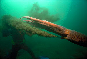 Giant Pacific octopus squirting ink at diver, British Columbia Canada  -  Jeff Rotman