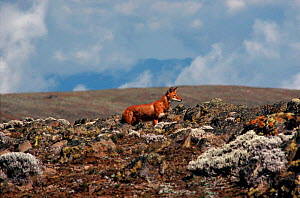 Simien Jackal (Ethiopian wolf) endemic, Ethiopia. Only about 300 of these dogs survive in the wild - Keith Scholey
